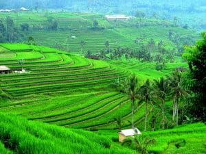 bali-jatiluwih-rice-terrace-balifull-day-tour-bali-car-rental-cheap